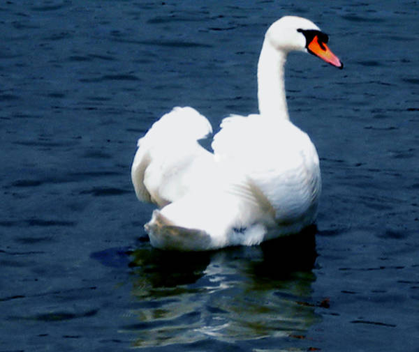 Photograph - Swan by Colette V Hera  Guggenheim