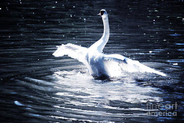 Dancing Water Photograph - Swan by HD Connelly