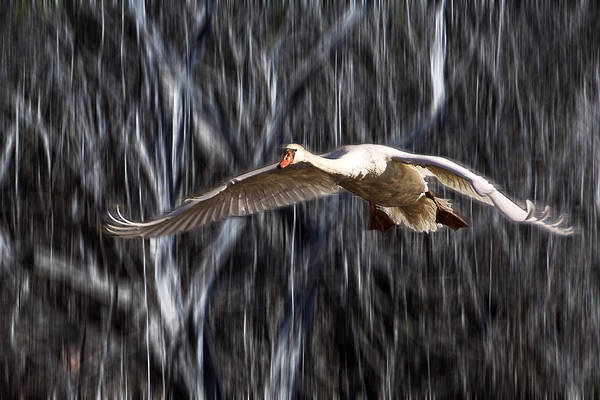Photograph - Swan In Flight by Randall Nyhof