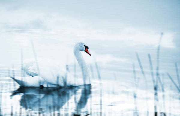 Wall Art - Photograph - Swan by Jaroslaw Grudzinski
