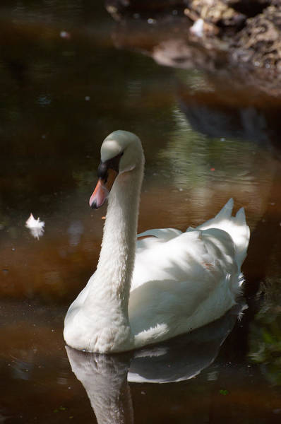 Photograph - Swan Lake by Donna Proctor