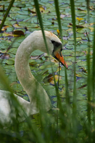 Mute Swan Photograph - Swan Naturally by Odd Jeppesen