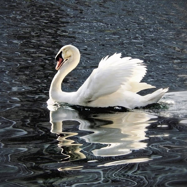 Wall Art - Painting - Swan On Lake Eola by Glennis Siverson