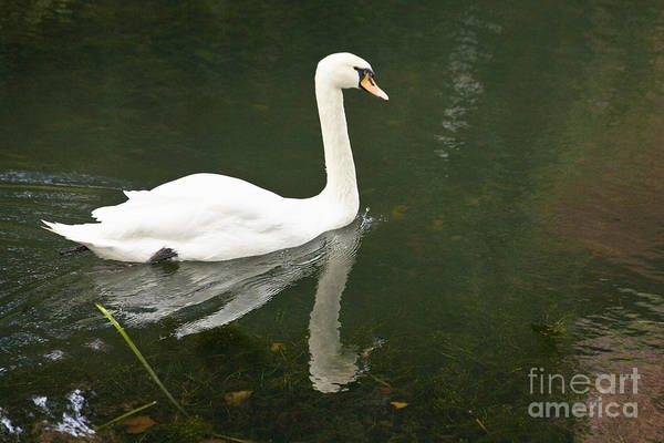 Photograph - Swan On The Lake by Heiko Koehrer-Wagner