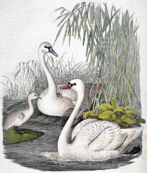 Wall Art - Photograph - Swans, C1850 by Granger