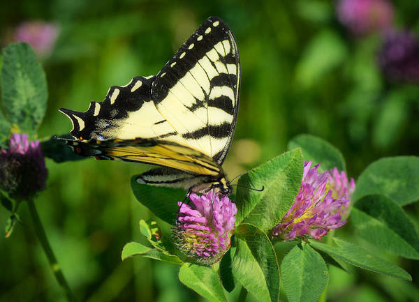 Swallowtail Photograph - Sweet Clover Treat by Susan Capuano