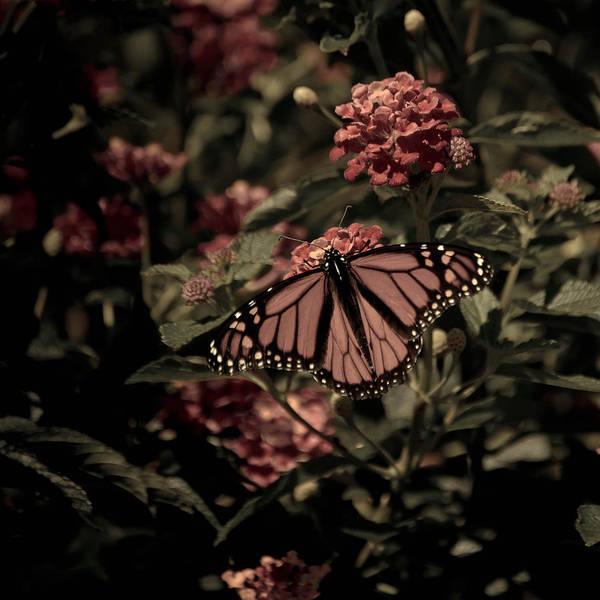 Photograph - Sweet Lantana by Trish Tritz