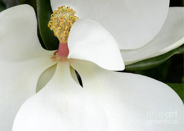 Photograph - Sweet Magnolia Flower by Sabrina L Ryan