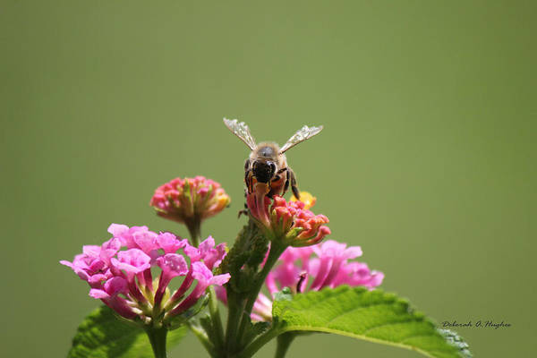 Photograph - Sweet Nectar by Deborah Hughes