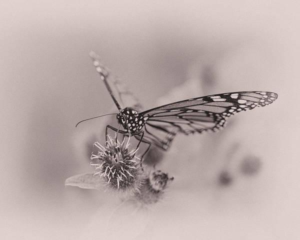 Monarch Butterflies Photograph - Sweet Summertime by Susan Capuano