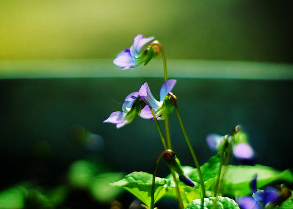 Photograph - Sweet Violets Smile by Rebecca Sherman
