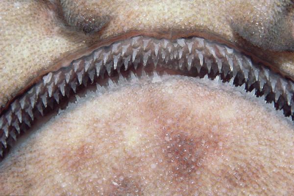 Photograph - Swell Shark Cephaloscyllium Ventriosum by Flip Nicklin