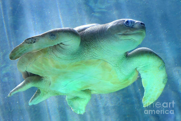 Green Sea Turtle Photograph - Swimmer by Dan Holm