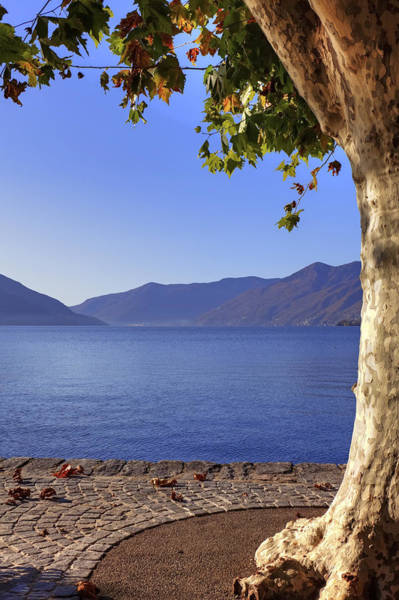 Ticino Photograph - sycamore tree at the Lake Maggiore by Joana Kruse