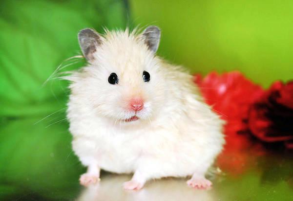 Golden Hamster Photograph - Syrian Hamster Kokolinka by Pyza / Puchikumo