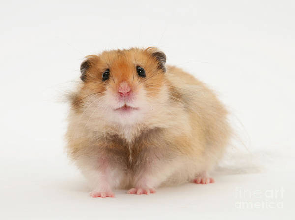 Golden Hamster Photograph - Syrian Hamster by Mark Taylor