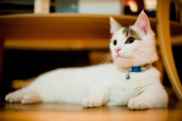 Okayama Prefecture Photograph - Tabby Munchkin Kitten Relaxing by Nazra Zahri