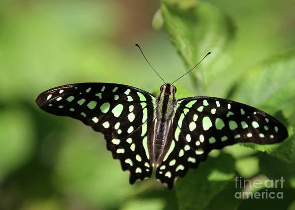 Photograph - Tailed Jay Butterfly by Sabrina L Ryan