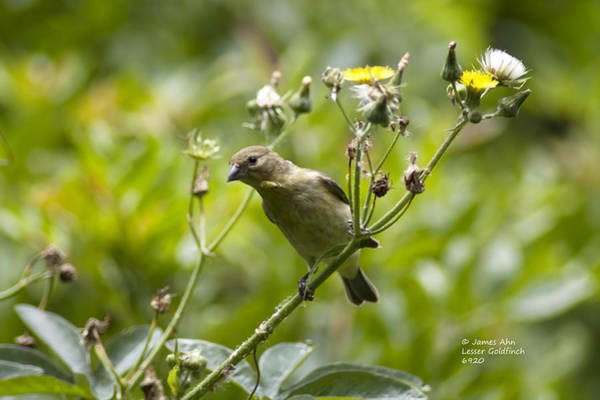 Take A Look - Lesser Goldfinch Art Print