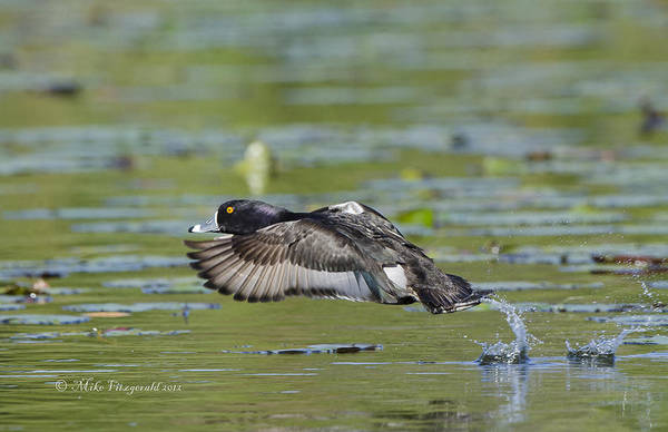 Photograph - Take-off by Mike Fitzgerald