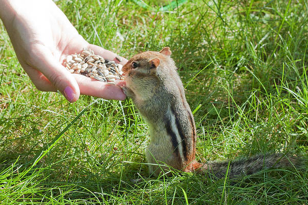 Photograph - Tame Chipmunk by Larry Landolfi