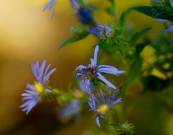 Aster Photograph - Tangled Up In Blue by Susan Capuano