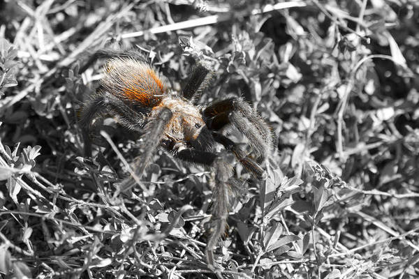 Wall Art - Photograph - Tarantula by Douglas Barnard
