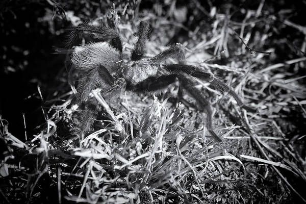 Wall Art - Photograph - Tarantula V2 by Douglas Barnard