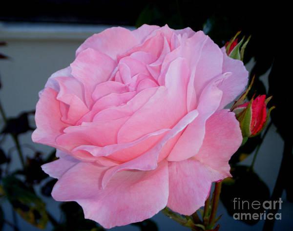 Aira Wall Art - Photograph - Tea Rose by Tea Aira