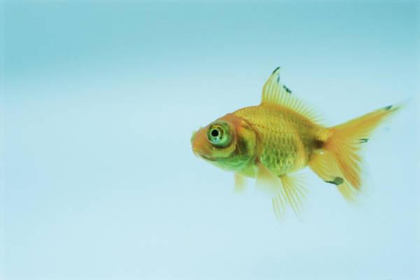 Ornamental Fish Photograph - Telescopic Eyed Goldfish by David Aubrey