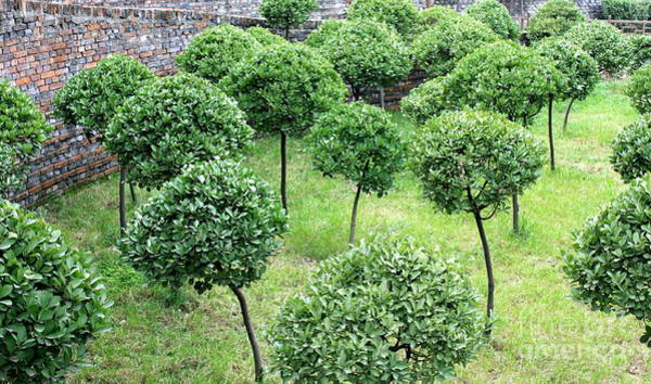Photograph - Temple Garden Trees by Carol Groenen