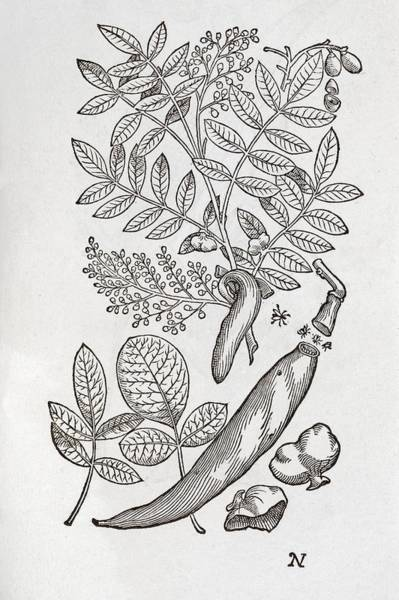 1566 Photograph - Terebinth Plant, 16th Century by Middle Temple Library