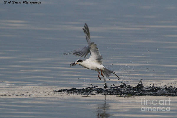 Photograph - Tern Emerging With Fish by Barbara Bowen