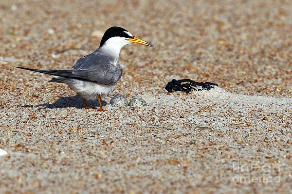 Wall Art - Photograph - Tern Nest by Rick Mann
