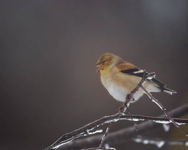 Goldfinch Photograph - Territorial by Susan Capuano