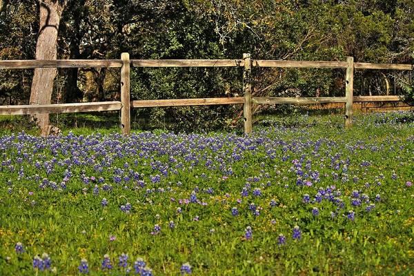 Photograph - Texas Bluebonnets by Sarah Broadmeadow-Thomas