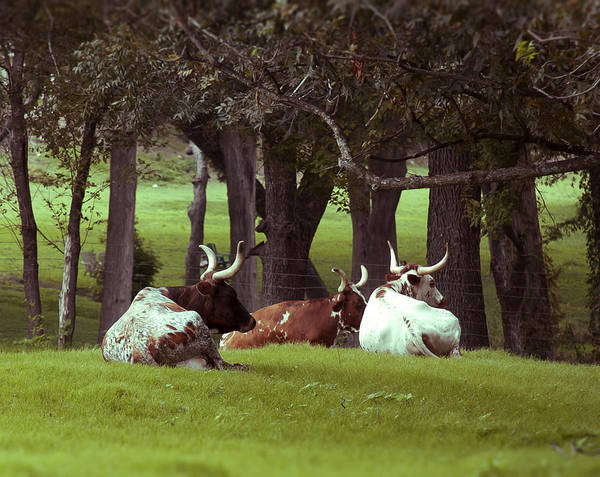 Rader Photograph - Texas Long Horns by Kelly Rader
