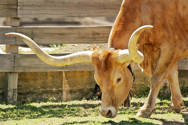 Wall Art - Photograph - Texas Longhorns - A Genetic Gold Mine by Christine Till
