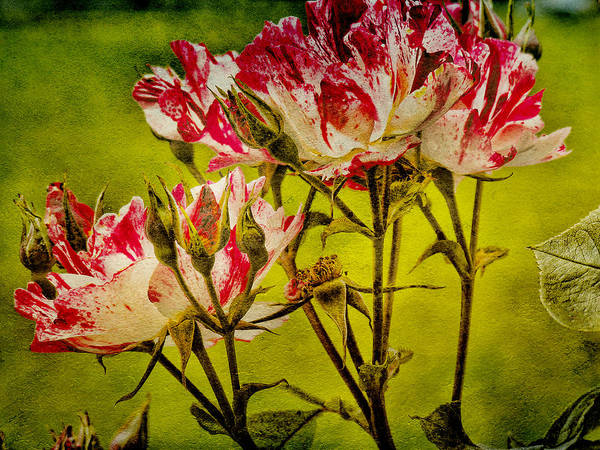 Chartreuse Photograph - Textured Roses by Bonnie Bruno