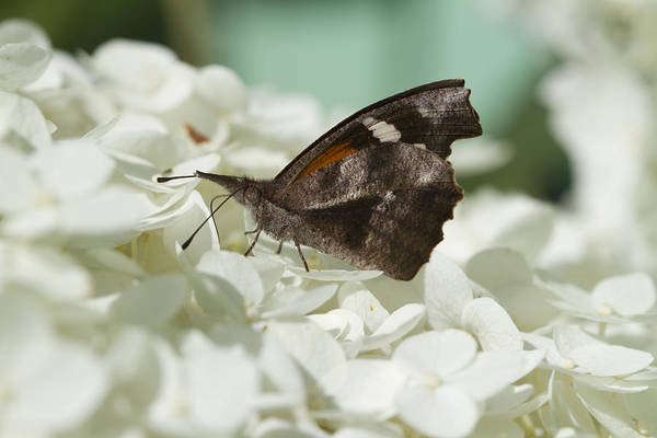 Snout Butterfly Photograph - The American Snout - Libytheana Carinenta by Kathy Clark