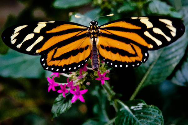 Photograph - The Beautiful Tiger Butterfly by David Patterson