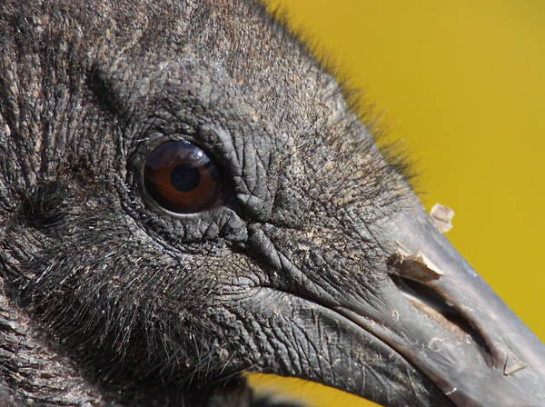 Wall Art - Photograph - The Beauty Is In The Details - Black Vulture by Bruce J Robinson
