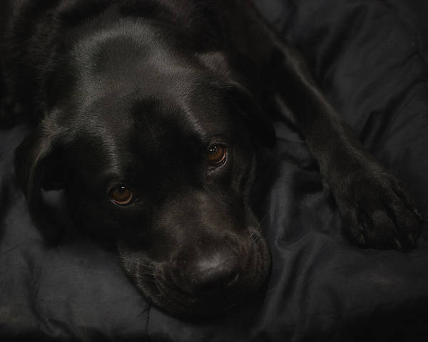 Labs Photograph - The Beauty Of Black by Susan Capuano