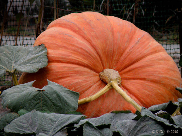 Photograph - The Big Pumpkin by Grace Dillon
