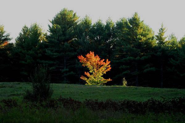 Photograph - The Blazing Tree by Larry Landolfi
