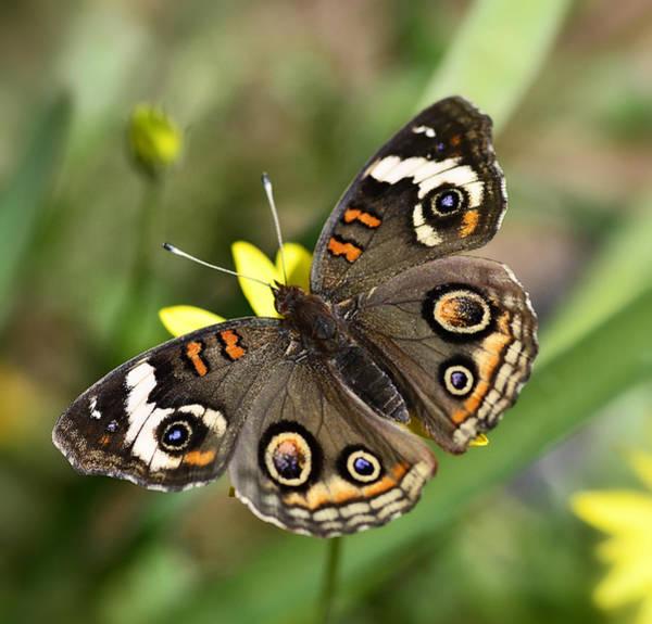 Buckeye Butterfly Wall Art - Photograph - The Buckeye  by Saija  Lehtonen