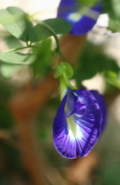 Photograph - The Butterfly Pea by Paul Cowan