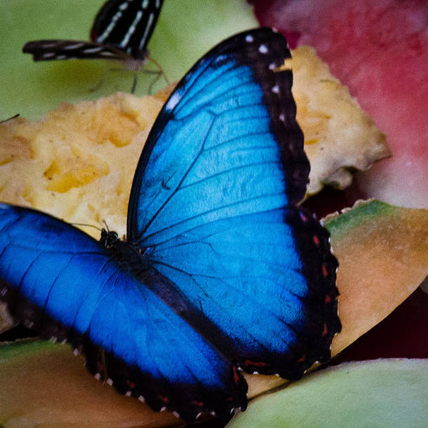 Photograph - The Common Blue Morpho Butterfly by David Patterson
