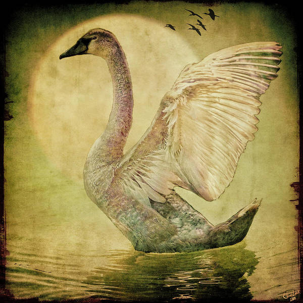 Photograph - The Cygnet by Chris Lord