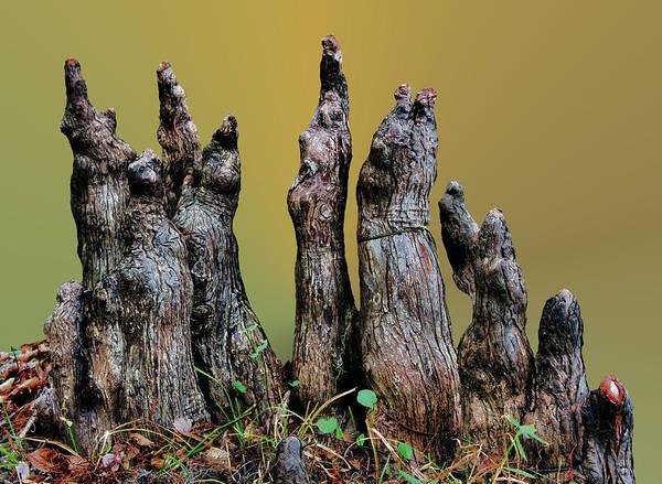 Cypress Knees Photograph - The Cypress Knees Chorus by Kristin Elmquist